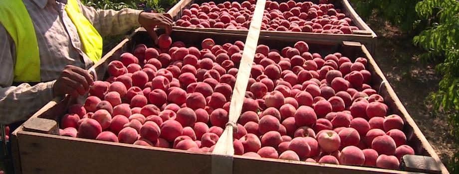 Fraises, pêches, abricot : où est passé le goût des fruits ?