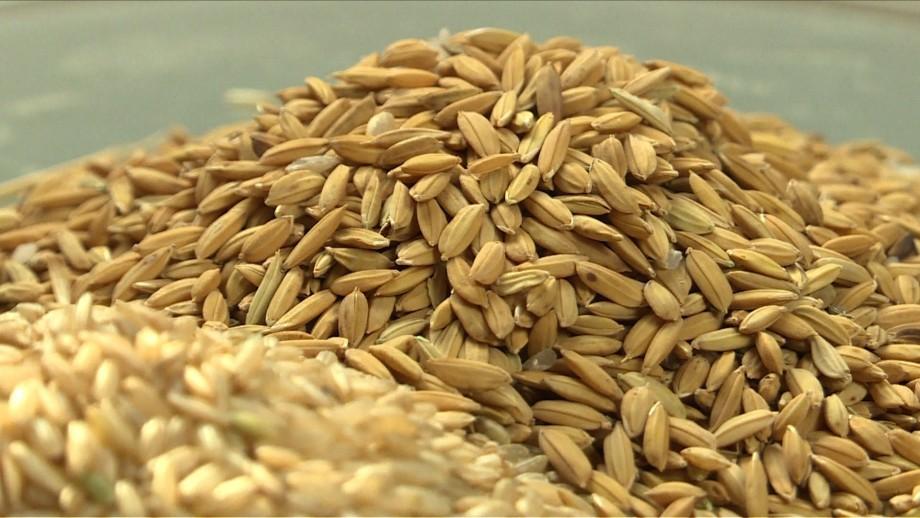 Le riz a-t-il un grain?