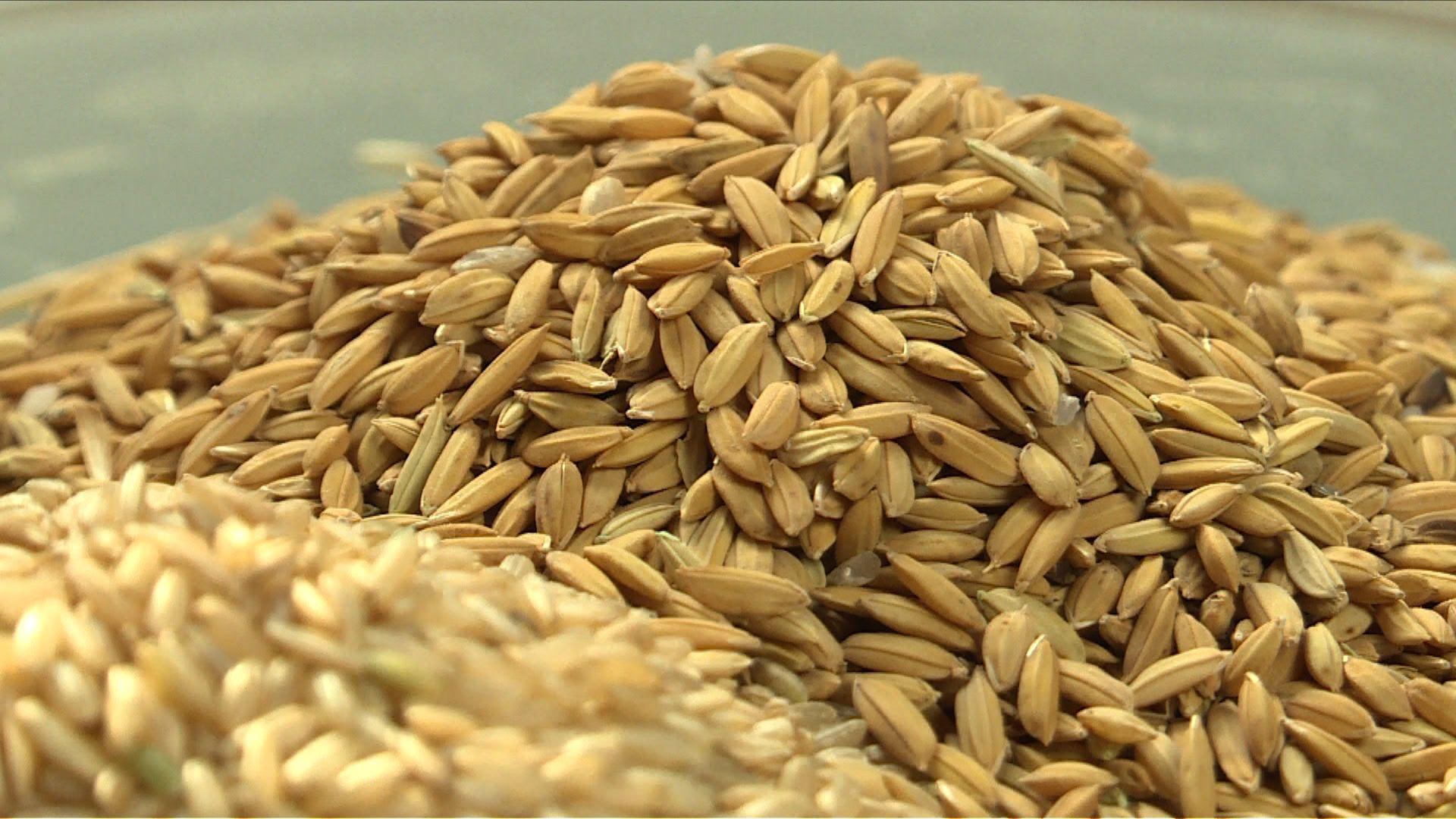 Le riz a-t-il un grain ?